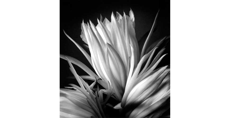 Exhib_slideshow_salmoiraghi_nightbloomingcereus
