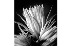 Partial_wide_salmoiraghi_nightbloomingcereus